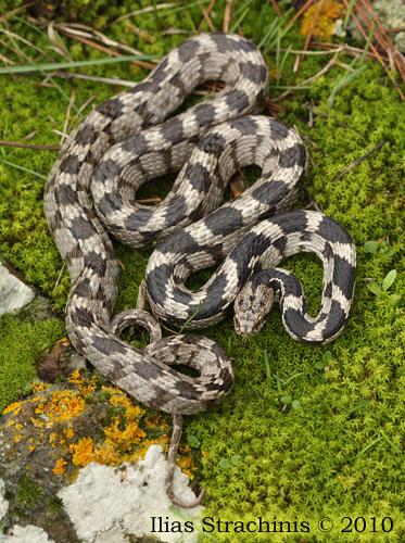 Τα ελληνικά φίδια.μύθοι &; αλήθειες