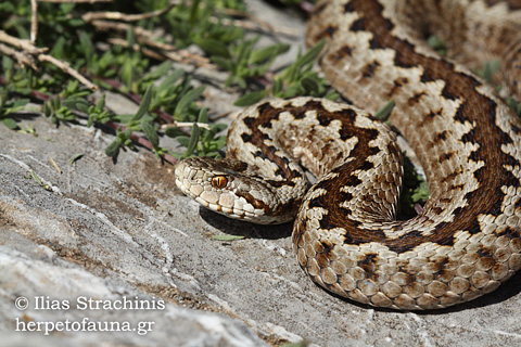 Vipera graeca, ursinii, Greek Meadow Viper